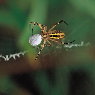 Breeding Habits of Spiders