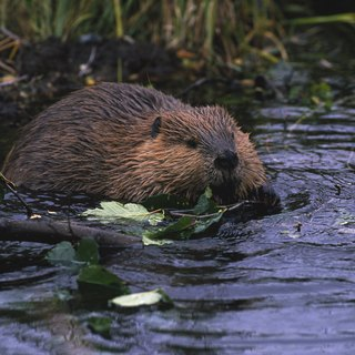 How Beavers Build Their Houses