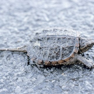 How to Make a Snapping Turtle Trap