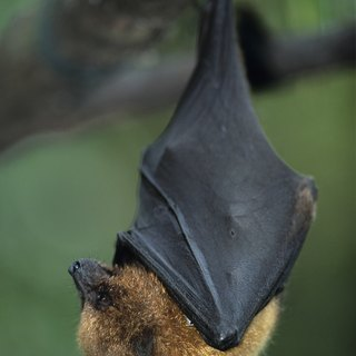 Do All Bats Have Fangs?