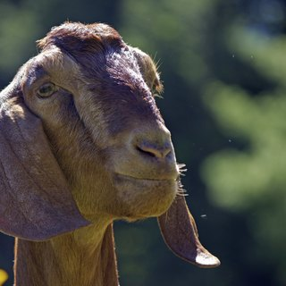 How to Care for Nubian Goats