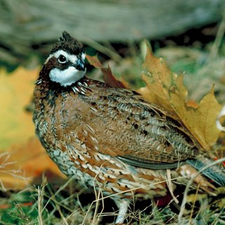 How to Build Your Own Bobwhite Quail Pen