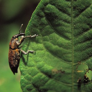 How Do Boll Weevils Affect Farmers?