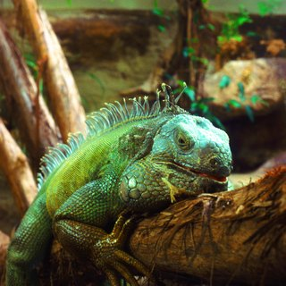 What Allows Lizards to Regrow Their Tails?