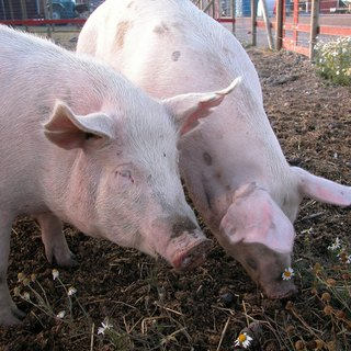 How to Deworm Pigs for Internal Parasites