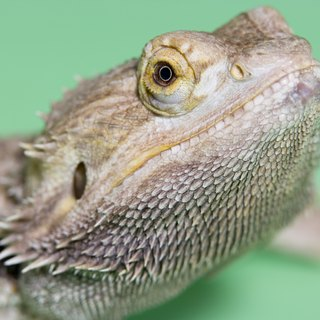 Where Are a Bearded Dragon's Ears?