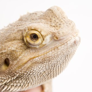 Do Bearded Dragons Act Weird After Laying Eggs?