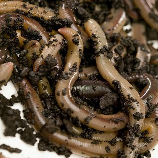 What to Feed Night Crawlers