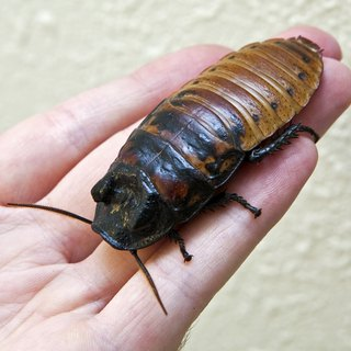 What Is the Difference Between Cockroaches & Water Bugs?