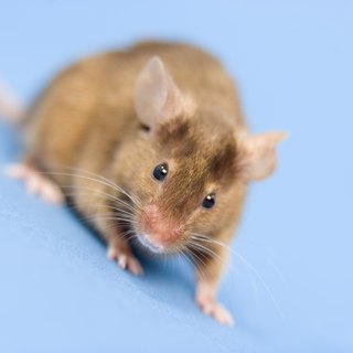 What Do Baby Mice Eat if Their Eyes Are Closed?
