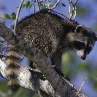 What to Do if a Dog Bites a Raccoon
