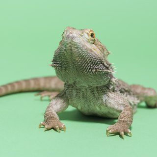 What Does the Beard Turning Black on a Bearded Dragon Mean?