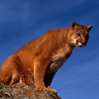 The Behavior of the Eastern Puma