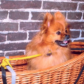 Home Remedies for Pomeranians With Itching Problems