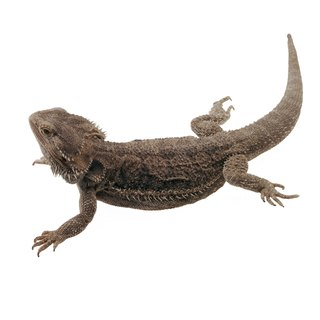 What if a Bearded Lizard Has Its Tongue Out?