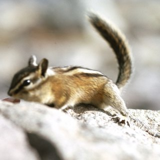 How to Tell If the Chipmunk Is Male or Female