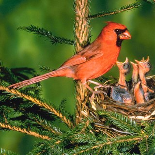 Birds That Look Like Cardinals
