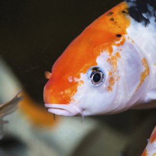 How to Care for Koi Fish in an Aquarium