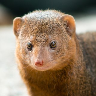Facts on the Dwarf Mongoose