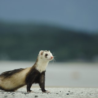 Pros & Cons of Ferrets as Pets