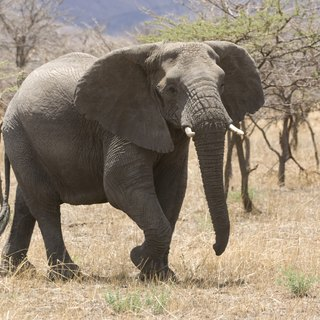 How Fast Does an Elephant Run?