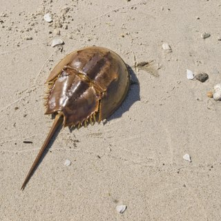 What Are Some Relatives of Horseshoe Crabs?