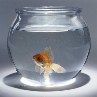 How Big Can a Goldfish Get?