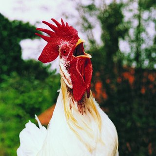 What Are the Benefits of Roosters?