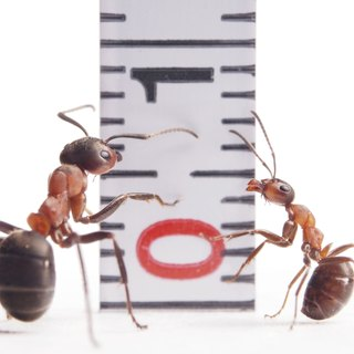 How Fast Can an Ant Run?