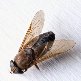 What Birds Eat Horseflies?
