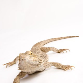 Will Bearded Dragons Survive if the UV Light Broke?