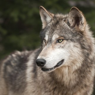 What Is the Difference Between Gray & Timber Wolves?
