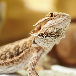 How to Get Your Bearded Dragon to Like You