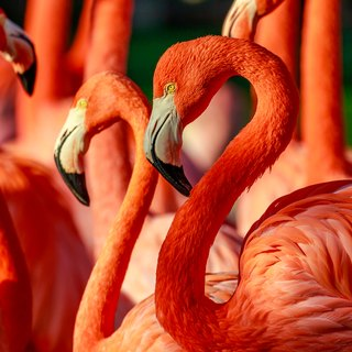 What Animals Eat Flamingos?