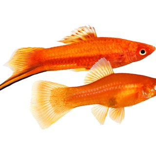 The Difference in Male & Female Swordtail Fish