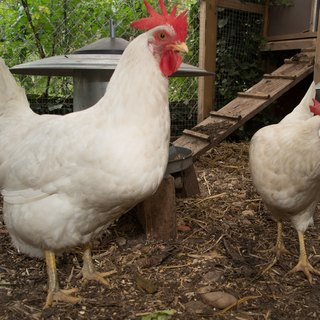 How to Raise White Leghorn Chickens