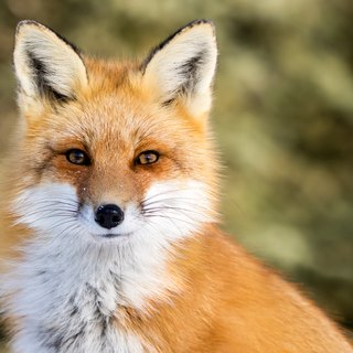 How to Tell the Difference Between a Male & Female Fox