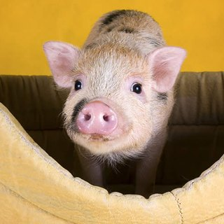 "How Big Do ""Teacup"" Piglets Get?"