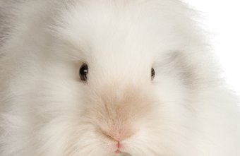 Giant German Angora rabbits are white and can grow to be the size of a small dog.