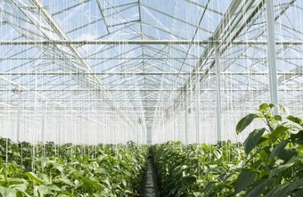 Greenhouse workers work in temperature-controlled buildings.