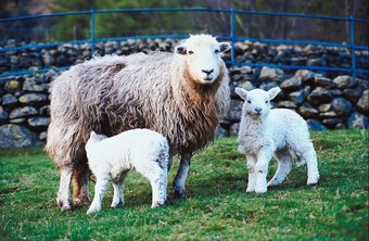 Twins rather than single lambs provide more profit for the sheep producer.