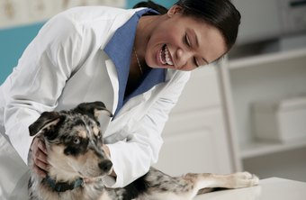 The work of a vet tech is similar to that of a nurse in a doctor's office.