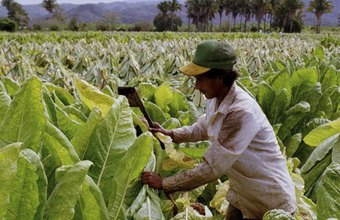 North Carolina tobacco farmers are among the most dependent on hired labor.