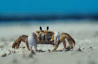 Though some crabs walk forward and backward, they typically walk sideways.