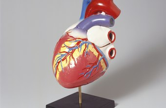 The cardiovascular system includes your heart, lungs and blood vessels.