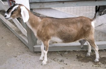 Goats are an excellent addition to your petting zoo.