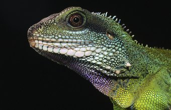 Herpetologists study the behavior of lizards and other reptiles and amphibians.