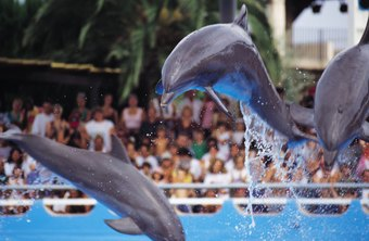 Trainers spend many hours teaching dolphins to execute specific behaviors.