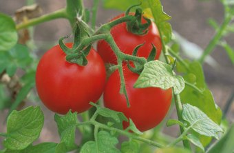 Fresh homegrown tomatoes are a summer-time treat.