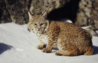 Licensed Michigan trappers can trap bobcat and other furbearing animals.